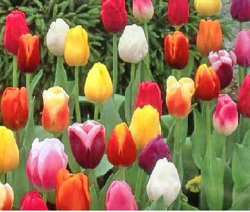 Tulips as FacePeople